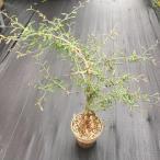 多肉植物:オペルクリカリア デカリー*幅65cm 現品!一品限り