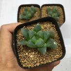 多肉植物:ハオルチア 大玉オブツーサ *5cm