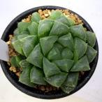 多肉植物:ハオルチア オブツーサ hyb.*5cm