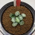 多肉植物:ハオルチア 万象 岩鳴*幅4.5cm 現品 一品限り