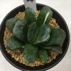 多肉植物:ハオルチア 静鼓錦(せいこにしき)*幅7cm 現品 一品限り