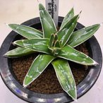 多肉植物:アガベ 笹の雪*M 幅8cm