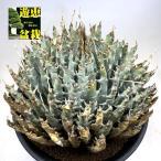 多肉植物:アガベ ユタエンシス*幅19cm 現品!一品限り ※未発根株です
