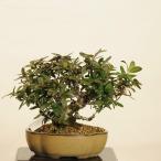 小品盆栽:ピラカンサ*一品限り 現品物