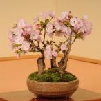 盆栽:旭山桜3本仕立て(信楽焼鉢)*