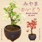 小品盆栽:深山かいどう(信楽焼鉢)*