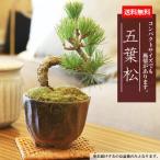 父の日ギフト ミニ盆栽:五葉松(瀬戸焼小鉢)*