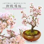人気桜盆栽:御殿場桜(大・瀬戸焼三彩鉢)*
