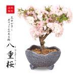 桜盆栽:八重桜(瀬戸焼鉢)*