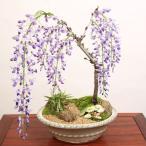 美しい紫色の藤の花が滝のように咲きます!
