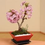 モダン桜盆栽:桜・山草寄せ(スクエア鉢)*