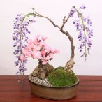 盆栽:桜・藤寄せ植え*陶器鉢