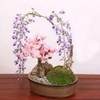 盆栽:桜・藤寄せ植え*陶器鉢 2018年春開花