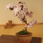 桜盆栽:八重桜(信楽焼いらぼ鉢)*