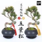 盆栽:五葉松(モダン鉢)受け皿付き*