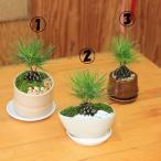 ミニ盆栽:松ぼっくりん(黒松)(モダン鉢)(受皿付)鉢選べます