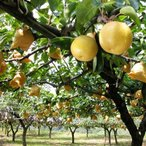 九重町 ふるさと納税 ここのえまち産電子技法栽培梨 約3kg