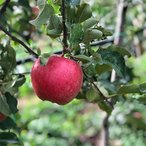 ふるさと納税 南箕輪村 もぎたて『シナノスイート』りんご 約5kg