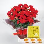 母の日 2020 プレゼント ギフト 赤カーネーション鉢植えとまるごとみかんゼリーのセット スイーツセット || 送料無料 メッセージカード 母の日ギフト PT