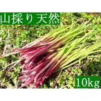 発送中!山菜・山採り・黒部産・天然蕗・山ふき・フキ 10kg強