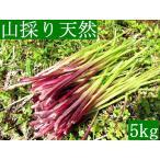 発送中!山菜・山採り・黒部産・天然蕗・山ふき・フキ 5kg強