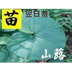 天然蕗・ふき・フキ♪親株♪苗(茎太)12株セット