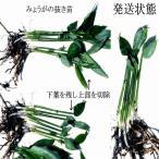 【5月半ば以降から順次発送】天然茗荷・みょうが・ミョウガの発芽地下茎・栽培♪苗10株♪