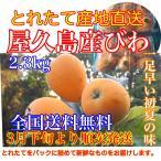 【全国送料無料】屋久島びわ 甘くて美味しい樹上完熟 たっぷり2.3kg ◆3月中旬より順次発送