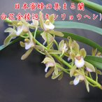 Cym.floribundum,album 白花金稜辺(キンリョウヘン)花なし株 3号鉢、日本蜜蜂(ミツバチ)を呼びます 分蜂 捕獲