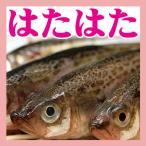 天然 子持ち ハタハタ 400�500g5尾 山形県産 生冷凍 旬 ブリ子 鮮魚 はたはた 鰰