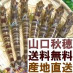 Shrimp - 山口県秋穂直送(車エビ)【送料無料】『活き車えび』1kg(25〜33匹)車海老