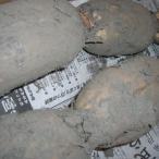 【送料無料】【業務用】泥付き『岩国蓮根(れんこん)5kg』(東北・北海道・沖縄は別途送料がかかります)