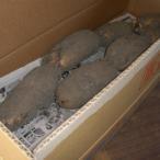 【送料無料】【業務用】泥付き『岩国蓮根(れんこん)10kg』(東北・北海道・沖縄は別途送料がかかります)