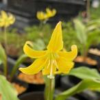 山野草:黄花カタクリ