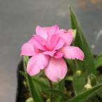 山野草:桃花八重咲アッツ桜