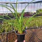 山野草:金稜辺(キンリョウヘン) 平成29年春開花見込み株です。日本ミツバチ誘引用にどうぞ