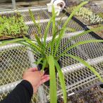 山野草:金稜辺(キンリョウヘン) 3号鉢苗
