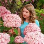 花 苗 山野草:ピンクアナベル 9cmポット苗
