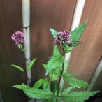 花 苗 山野草:赤花玉咲きフジバカマ ポット苗