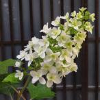 花 苗 山野草:八重咲カシワバアジサイ 6号大鉢