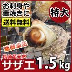 産直 天然サザエ 特大サイズ 計1.5kg