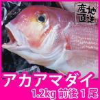 天然鮮魚アマダイ(アカアマダイ) 1.2kg前後1尾 長崎県産甘鯛の上質な白身がたまらない一品