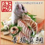 長崎産真鯛(マダイ) 1.2kg前後1尾(2〜3人前) 環境にこだわった真鯛