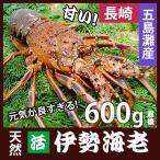 長崎産天然活伊勢海老 大サイズ 600g前後1尾   (約30cm)