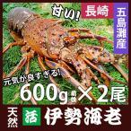 長崎産天然活伊勢海老 大サイズ600g前後2尾    (1尾約30cm)『送料無料』