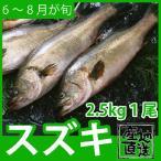 天然鮮魚スズキ 2.5kg前後1尾 活かしもののタイに似たクセのないあっさりした上質の味