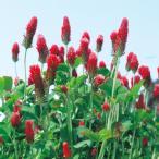 【緑肥・景観に】クリムソンクローバー【タキイ種苗】(60ml)クリムゾンクローバー[秋まき][春まき]