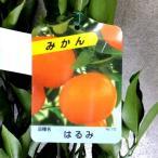 【果樹苗】はるみ(みかん)【柑橘類苗木】1年生(地掘り根巻き苗)