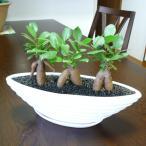 ガジュマル 観葉植物 縁起のよい3本立ちガジュマル 多幸の木 がじゅまる