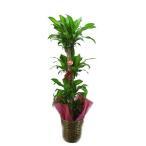 日本一の産地から直送で観葉植物をお送りします。